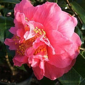 Camellia 'Spring Fever' - Find Azleas,Camellias,Hydrangea and Rhododendrons at Loder Plants